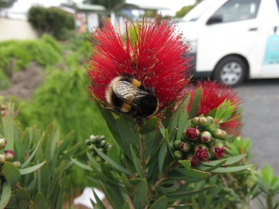 Bumble Bee. Accidentally introduced to Tasmania in 1992.
