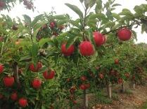 Apple orchards at Spreyton