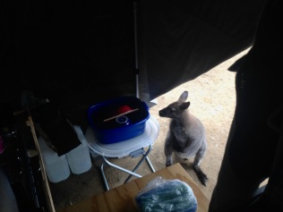 Inquisitive wallaby